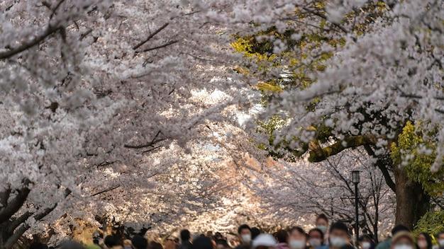 Kwitnące drzewo brzoskwini w japonii
