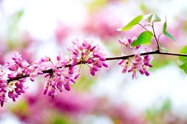 Kwitnące drzewo judasza. cercis siliquastrum, canadensis, wschodni redbud.