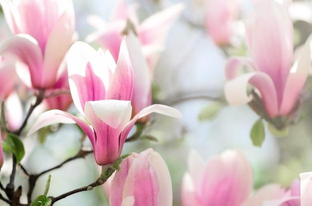 Kwitnące drzewo magnolii w promieniach słońca wiosną. selektywne skupienie.