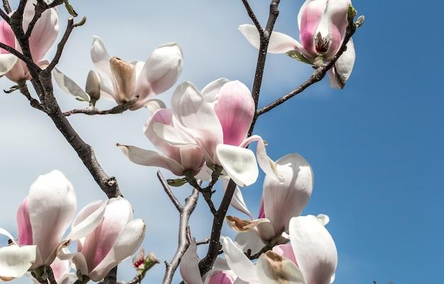 Kwitnące drzewo magnolii z bliska, pojęcie kwiatów i wiosny