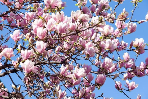 Kwitnące drzewo magnolii