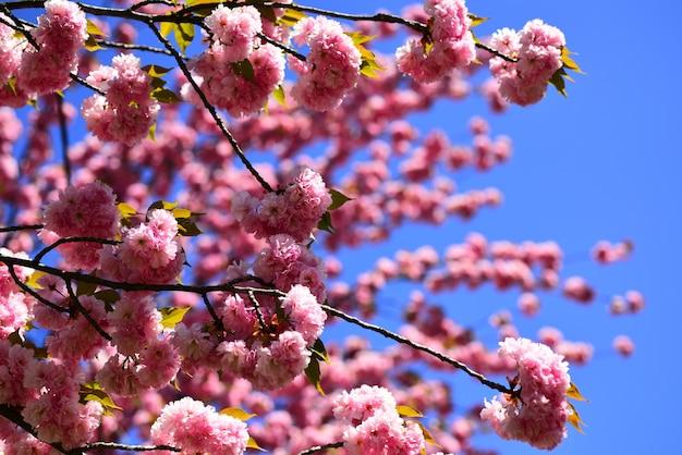 Kwitnące drzewo na tle przyrody kwiat wiśni sacura cherrytree wiosenne kwiaty na wielkanoc i ...