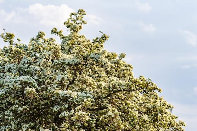 Kwitnące drzewo o białych kwiatach na tle błękitnego nieba