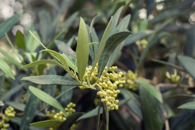 Kwitnące drzewo oliwne