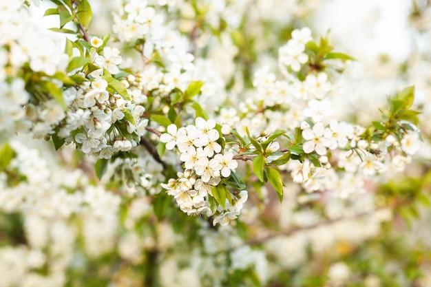 Kwitnące drzewo. pięknie kwitnące jabłko oddziału. biały kwiat moreli. wiosna wielkanoc kartkę z życzeniami. kwiaty kwitnienia wiśni. sakura biały kwiat. wiosna. wiosenne kwiaty. piękny sad.