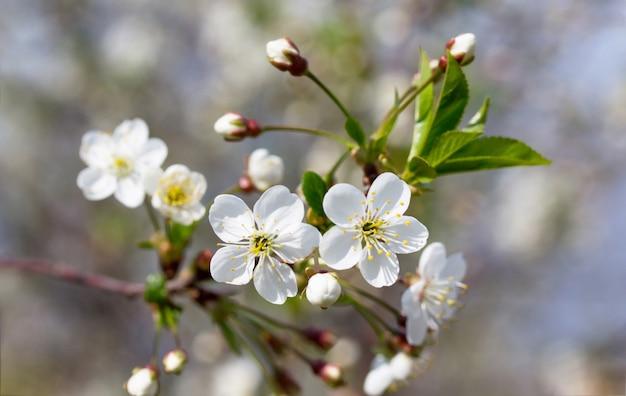 Kwitnące drzewo wiśniowe na tle przyrody. wiosenne kwiaty. tło wiosna.