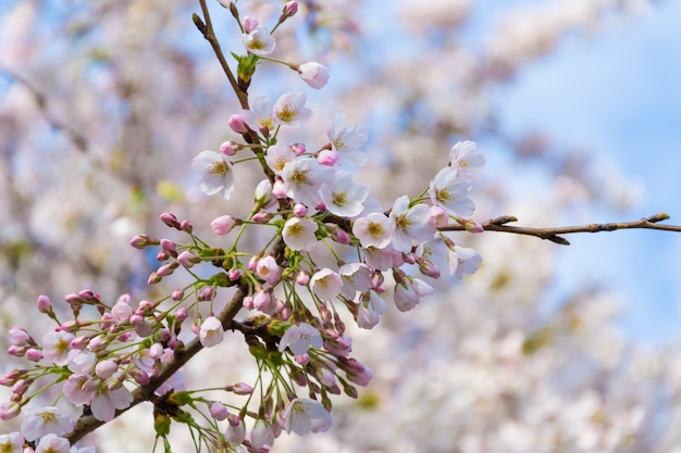 Kwitnące drzewo wiśniowe
