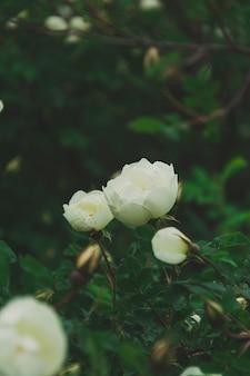Kwitnące dzikie białe róże w zielonych liściach krzaka