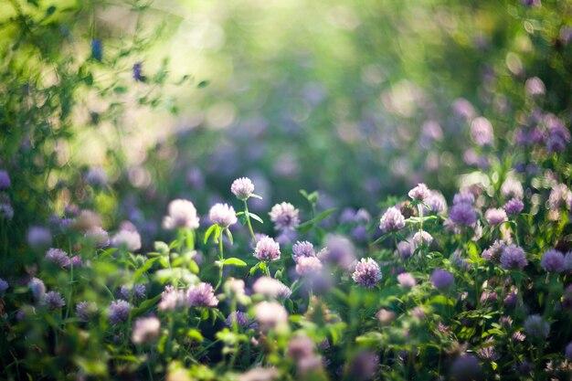 Kwitnące fioletowe koniczyny zastrzelone obiektywem soft focus