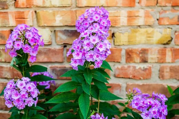 Kwitnące fioletowe kwiaty ogrodowe: floks, phlox paniculata, rodzaj kwitnących roślin zielnych.