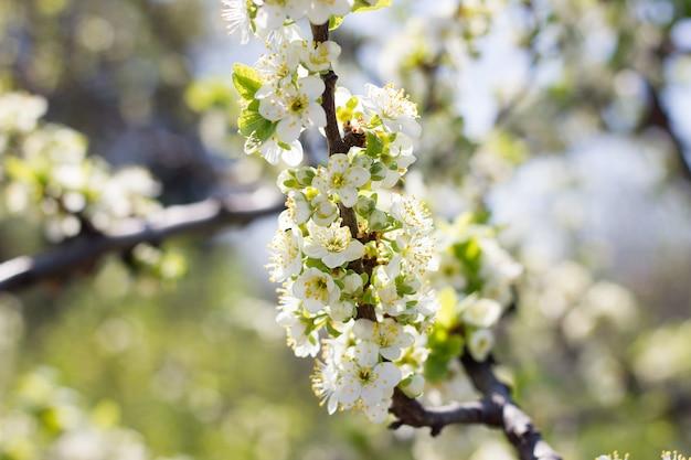 Kwitnące gałązki wiśni. kwitnące drzewa duża wiosna plpnom.
