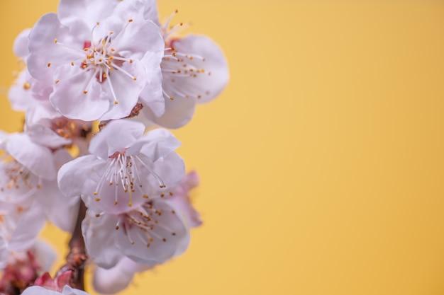 Kwitnące gałązki wiśni na żółtej powierzchni
