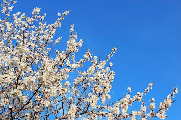 Kwitnące gałęzie moreli na tle błękitnego wiosennego nieba.