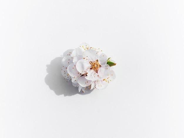 Kwitnące gałęzie owocowe kwiaty moreli