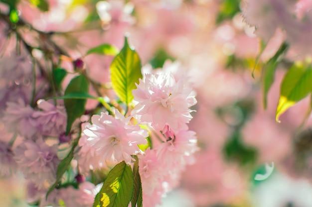 Kwitnące gałęzie sakury na wiosnę. piękne różowe kwiaty chińskiej wiśni