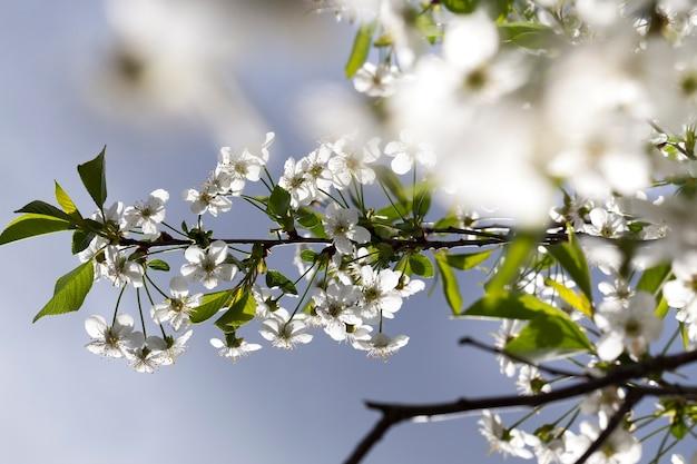 Kwitnące gałęzie wiśni z zielonymi liśćmi wiosną, zbliżenie sadu na błękitne niebo