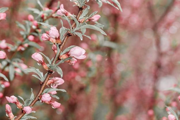 Kwitnące gałęzie wiśniowego drzewa po deszczu. drzewa kwitną wiosną.