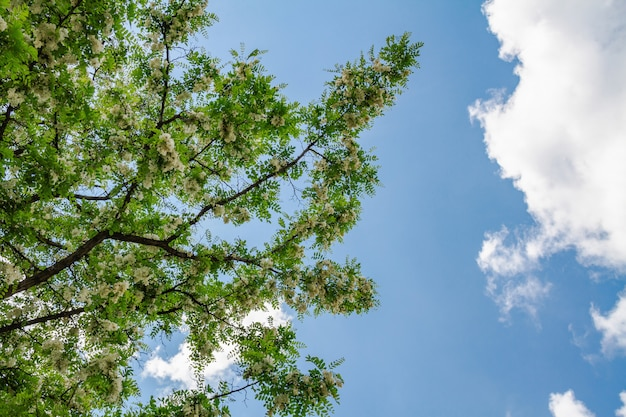 Kwitnące gałęzie z białymi kwiatami akacji na tle błękitnego nieba