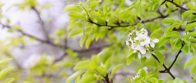 Kwitnące gruszki oddziałów z bliska. kwitnąca gałąź z białym kwiatem w sezonie wiosennym