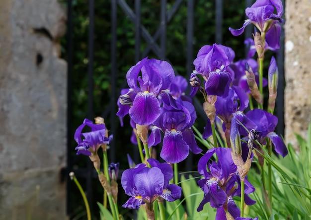 Kwitnące irysy na tle ogrodzenia ogrodowego