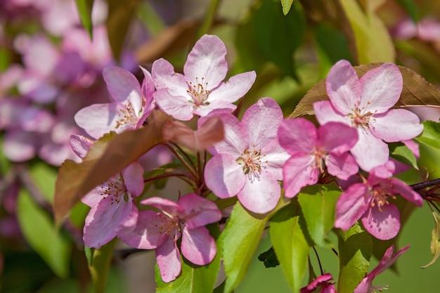 Kwitnące jabłonie w ogrodzie, kwiaty na drzewach na wiosnę