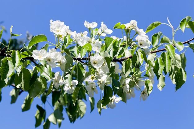 Kwitnące jabłonie w okresie wiosennym