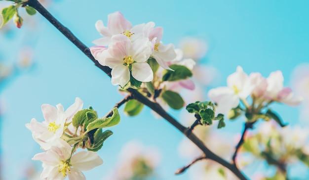 Kwitnące jabłonie wiosną w ogrodzie. selektywna ostrość. kwiaty.