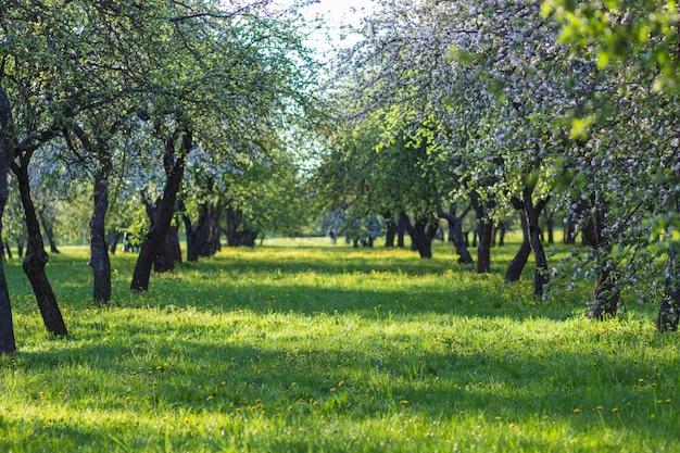 Kwitnące jabłonie