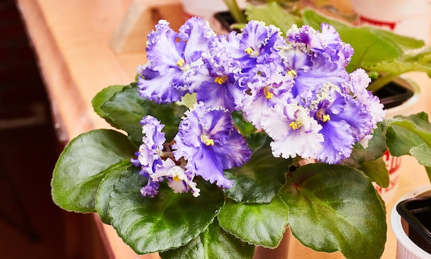 Kwitnące kręcone niebiesko-białe fiołki afrykańskie na półce. saintpaulia
