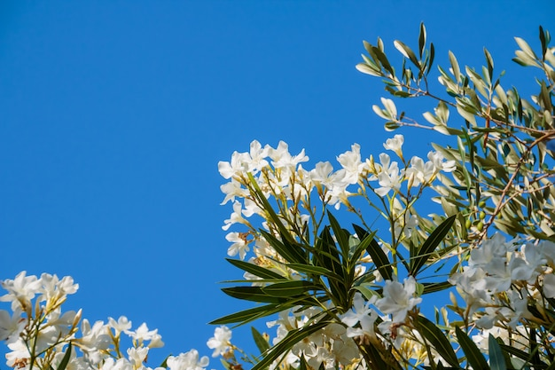 Kwitnące krzewy oleandrowe