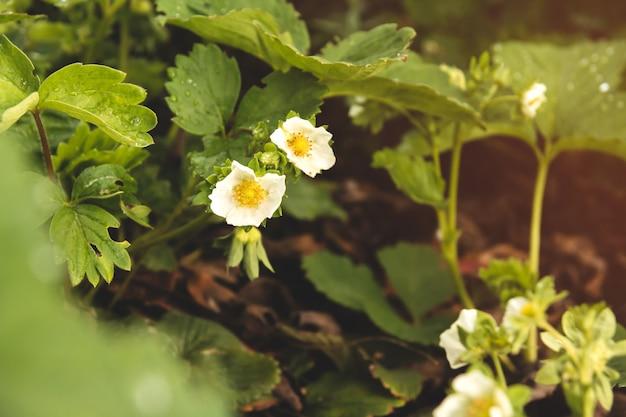 Kwitnące krzewy truskawkowe. kwitnące truskawki.