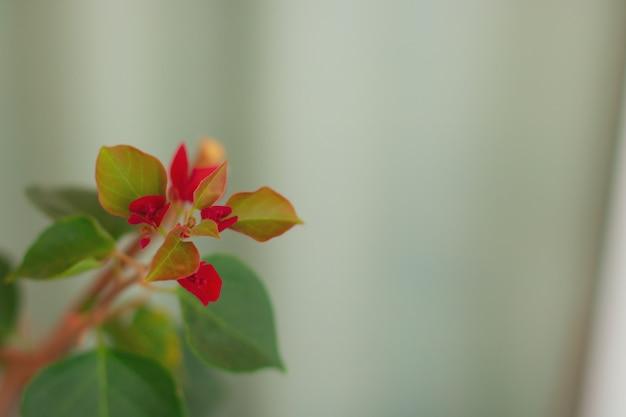 Kwitnące kwiaty bugenwilli na wiosnę