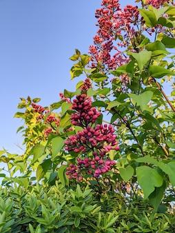 Kwitnące kwiaty bzu na drzewie z błękitnym niebem