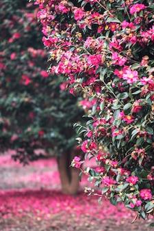 Kwitnące kwiaty camellia na wyspie jeju w korei