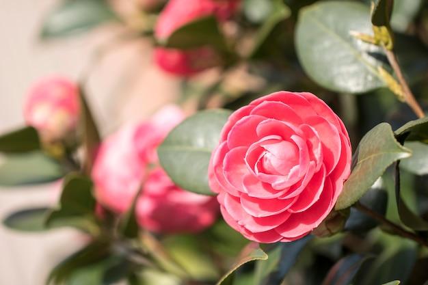 Kwitnące kwiaty camellia w korei