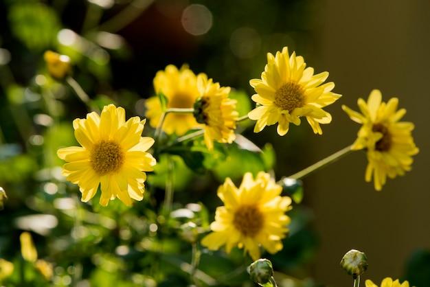 Kwitnące kwiaty chryzantemy