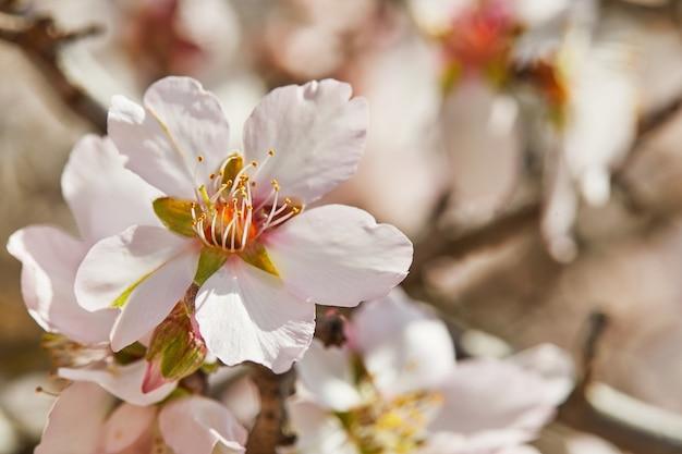 Kwitnące kwiaty drzewa migdałowego z bliska