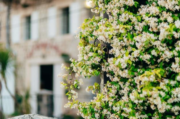Kwitnące kwiaty jaśminu zielona ściana czarnogóra