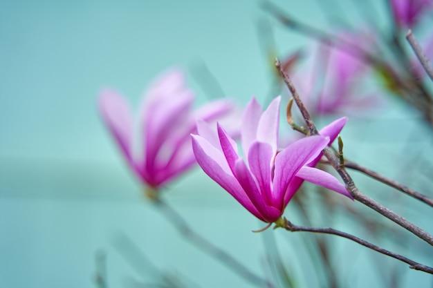 Kwitnące kwiaty magnolii w parku miejskim