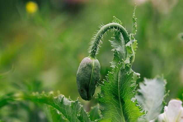 Kwitnące kwiaty maku z zamkniętym pąkiem w ogrodzie. mak rośnie w ziemi