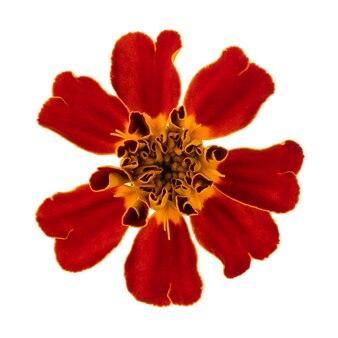 Kwitnące kwiaty nagietka izolują na białym tle