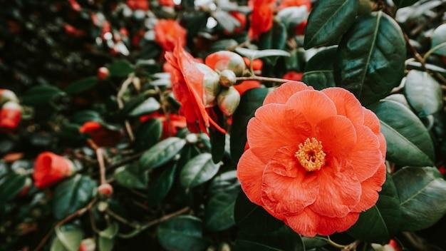 Kwitnące kwiaty orange storm na wolności
