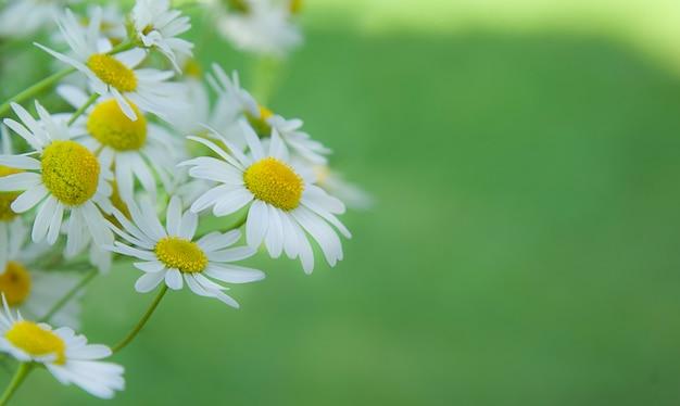 Kwitnące kwiaty rumianku na łące rumianek i zielona trawa nieostre tło