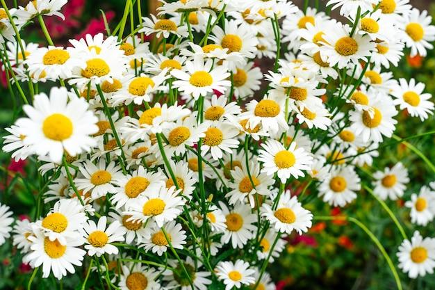 Kwitnące kwiaty rumianku. rumianek kwitnie na łące w lecie
