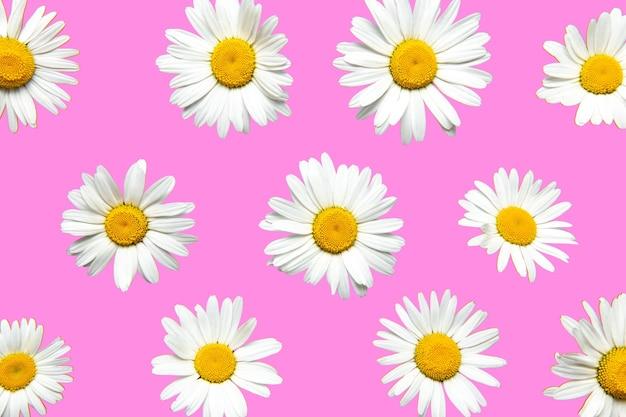 Kwitnące kwiaty rumianku