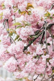 Kwitnące kwiaty sakury. piękny różowy kwiat wiśni
