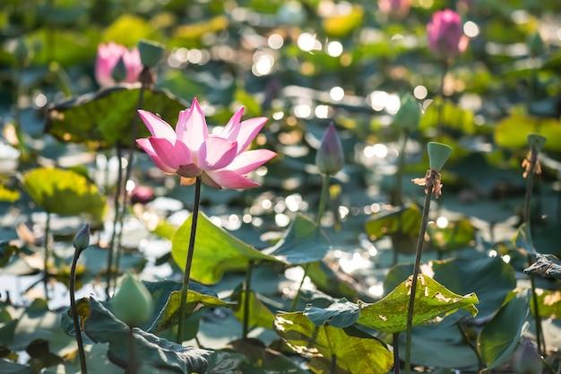 Kwitnące lilie wodne w kolorze różowym koralowym na stawie
