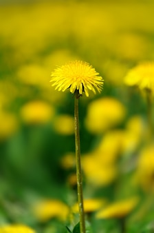 Kwitnące mlecze na tle zielonej trawy wczesną wiosną