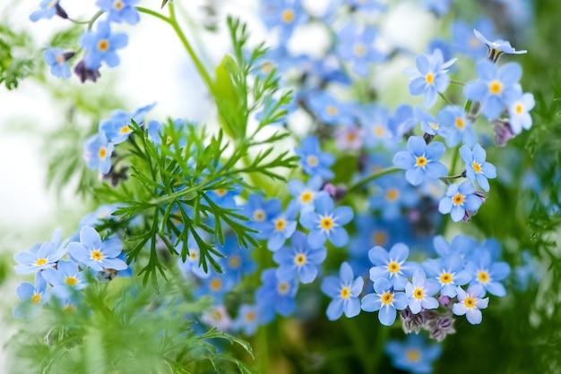 Kwitnące niebieskie kwiaty niezapominajek kwiatowy letnia powierzchnia