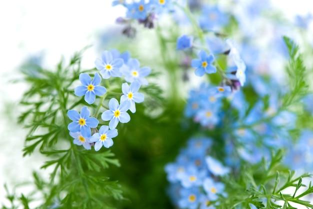 Kwitnące niebieskie kwiaty niezapominajki lato kwiatowy niewyraźna powierzchnia
